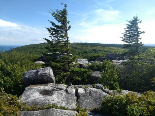 Dolly Sods Windswept Trees