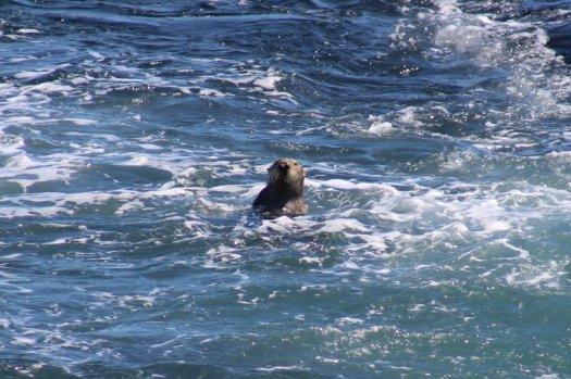 Sea Otter - Piedras Blancas