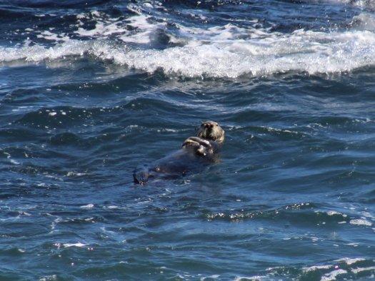 Sea Otter at Piedras Blancas