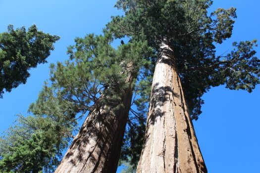Sequoia tops in Kings Canyon 7-11-19