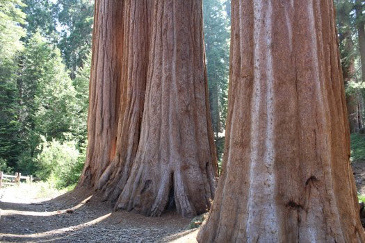 Sequoia siblings - Kings Canyon - 7-11-19
